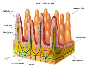 Intestinal Villus
